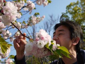 八重桜とおっさん