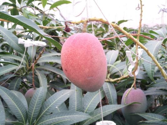 入江農園さんのマンゴー