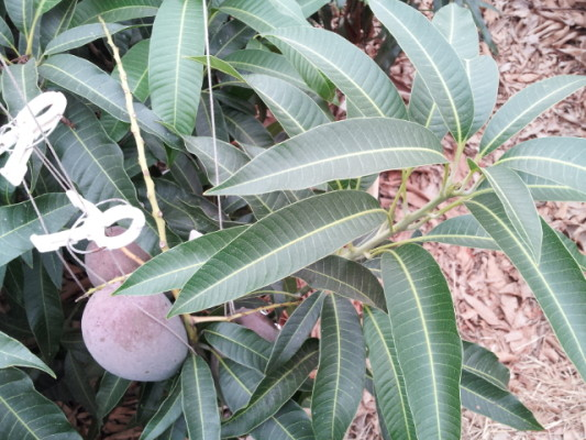 マンゴーの葉