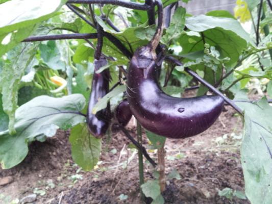 茄子を作るのって難しいです