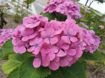 かろうじてこんな紫陽花もありました